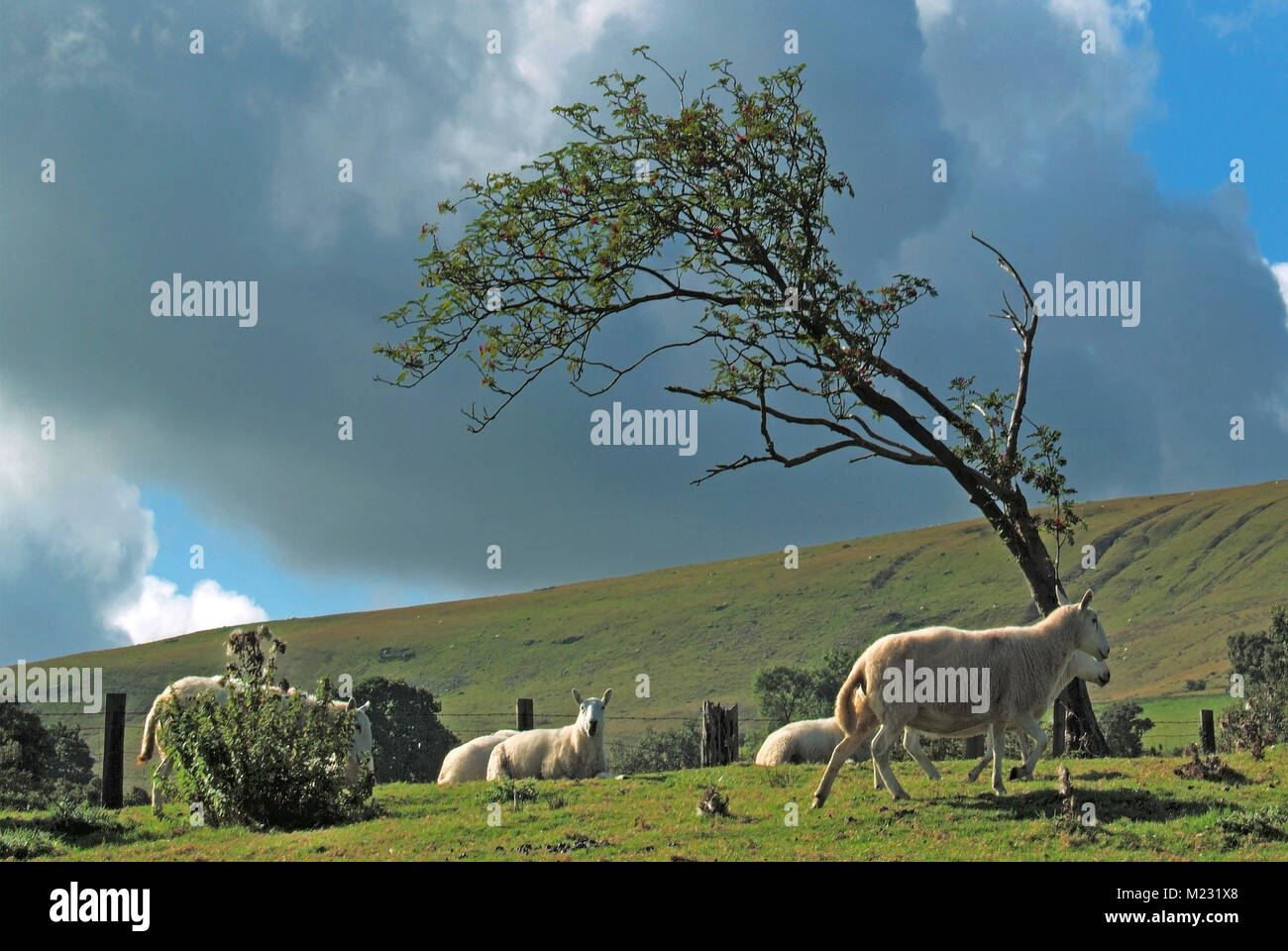 Windswept isolated bent & disfigured tree on top of bleak windy hill in Brecon Beacons National Park with sheep - Stock Image