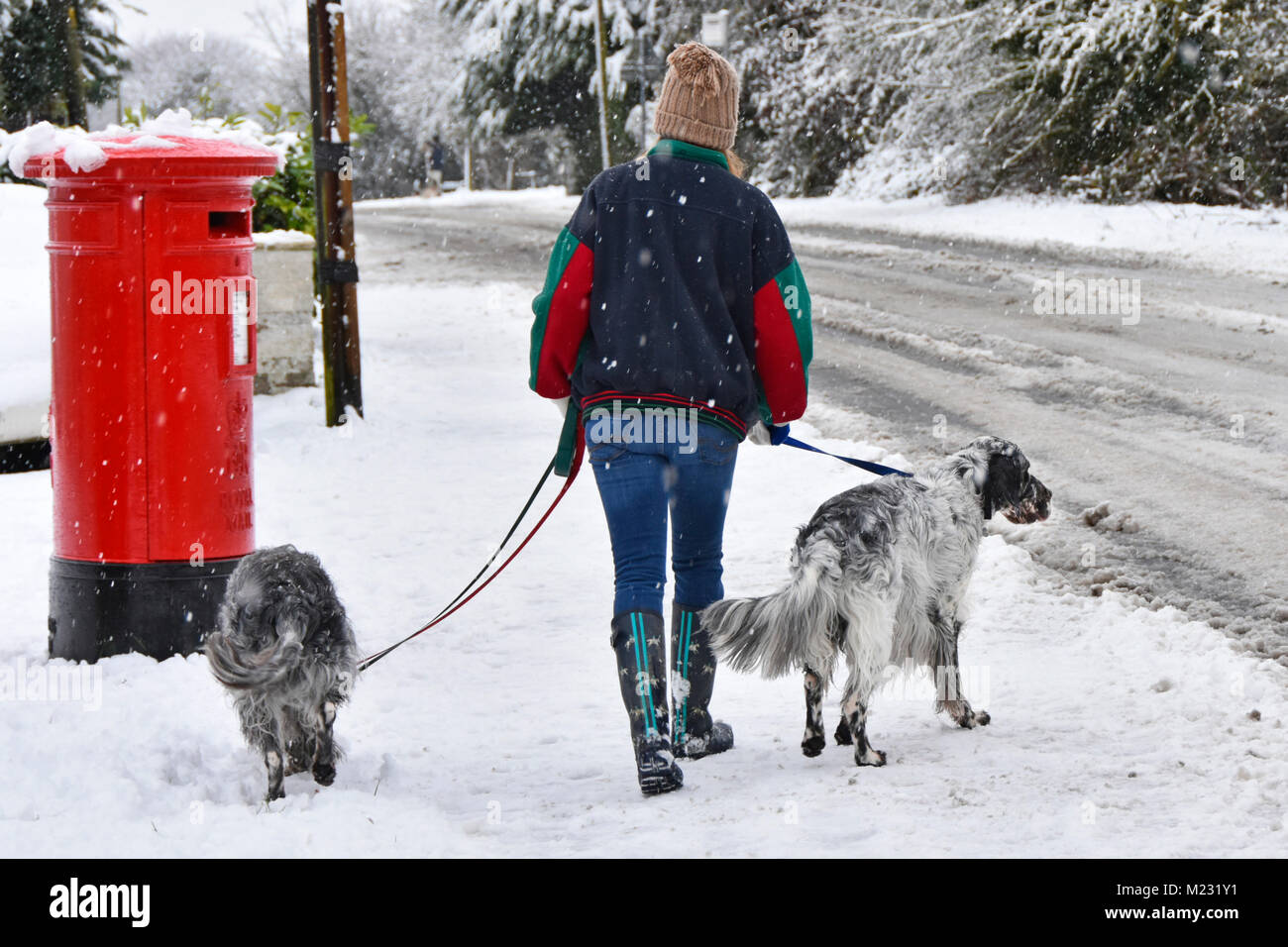 Snowing as woman walks with two English Setters dogs on dog leash walking along pavement snow falling and settling - Stock Image
