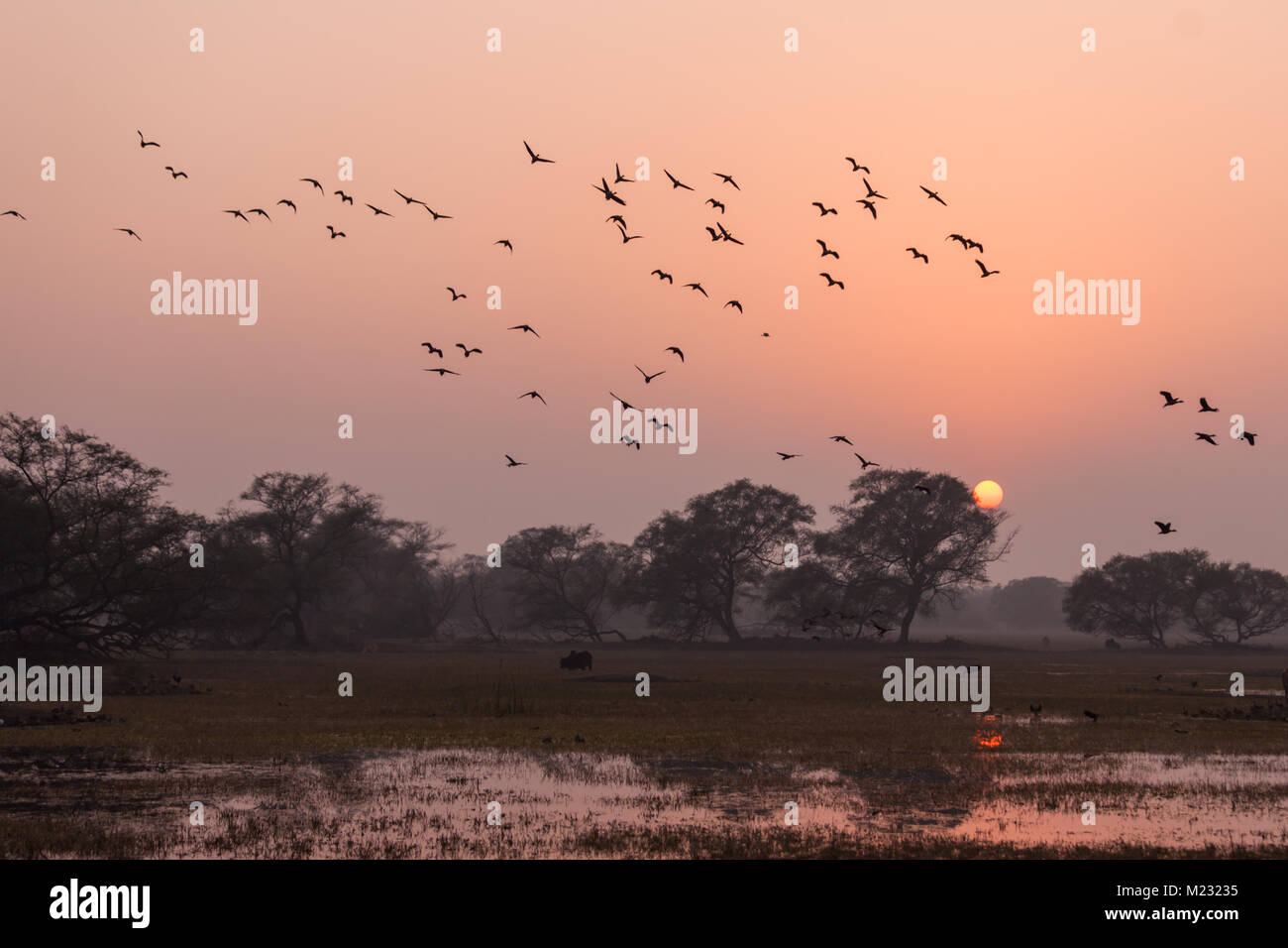 migratory birds flying in sky at sunset in Bharatpur Bird Sanctuary in Rajasthan, India - Stock Image