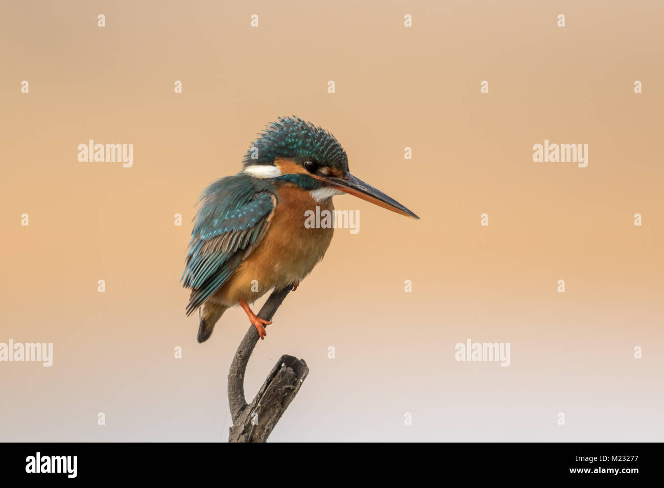 The common kingfisher (Alcedo atthis) bird at Bharatpur Bird Sanctuary in Rajasthan, India - Stock Image