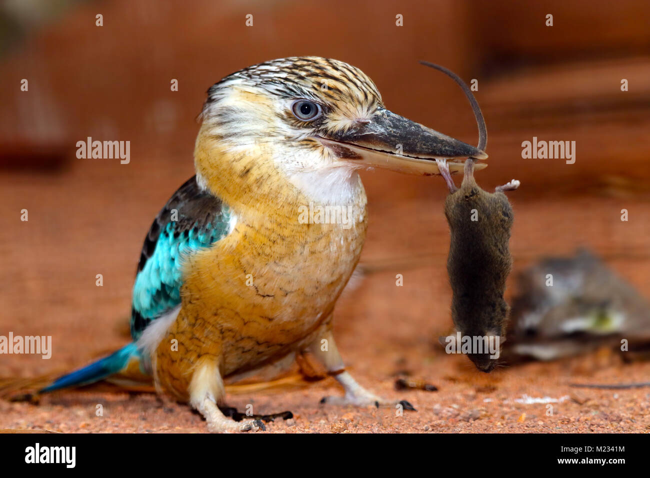 laughing kookaburra (dacelo novaeguineae) is holding a captured dead mouse in its beak - Stock Image
