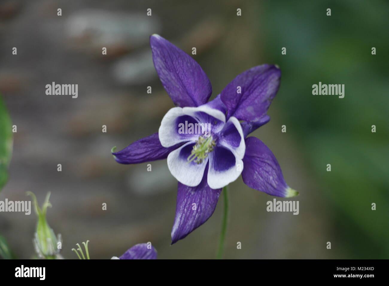 Columbine flowers spring flowers beautiful colors - Stock Image