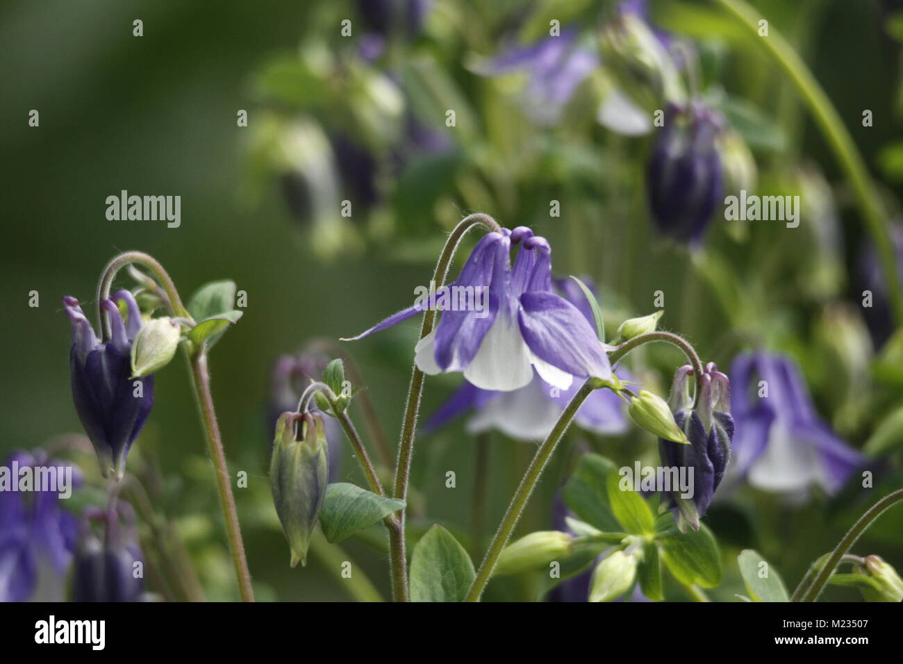 Columbine flowers spring flowers beautiful colors stock photo columbine flowers spring flowers beautiful colors izmirmasajfo