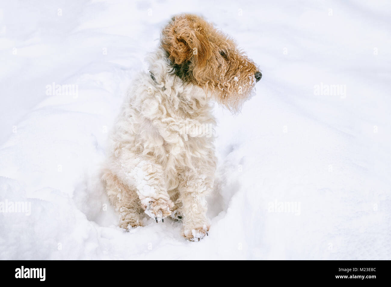 Sad dog sneaks in a snow drift in search of the road. Anomalous snowfall in the winter. Copy space. - Stock Image