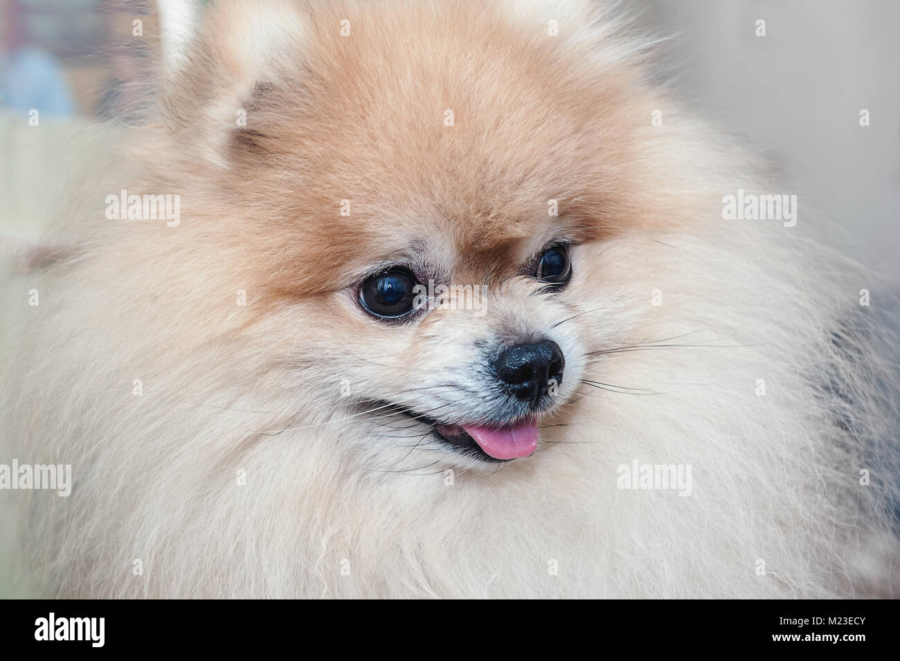 Portrait Of A Beautiful Pomeranian Before The Haircut In The Salon