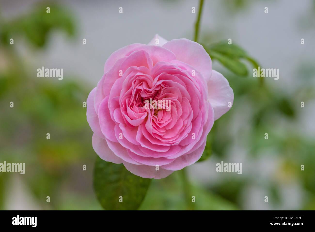 Mon Coeur Pink Japanese Rose Stock Photo 173410884 Alamy