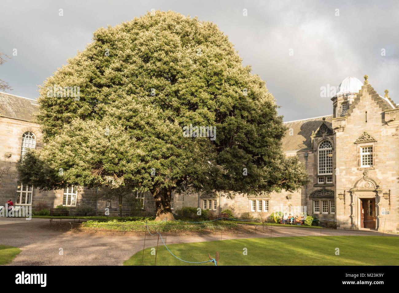 Holm Oak in St Marys Quadrangle, ST Mary's College, University of St Andrews, Scotland, UK - Stock Image