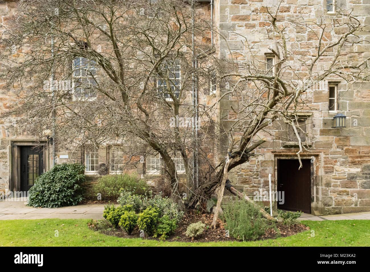 St Mary's Hawthorn, St Mary's Quadrangle, St Andrews University, Scotland, UK - Stock Image
