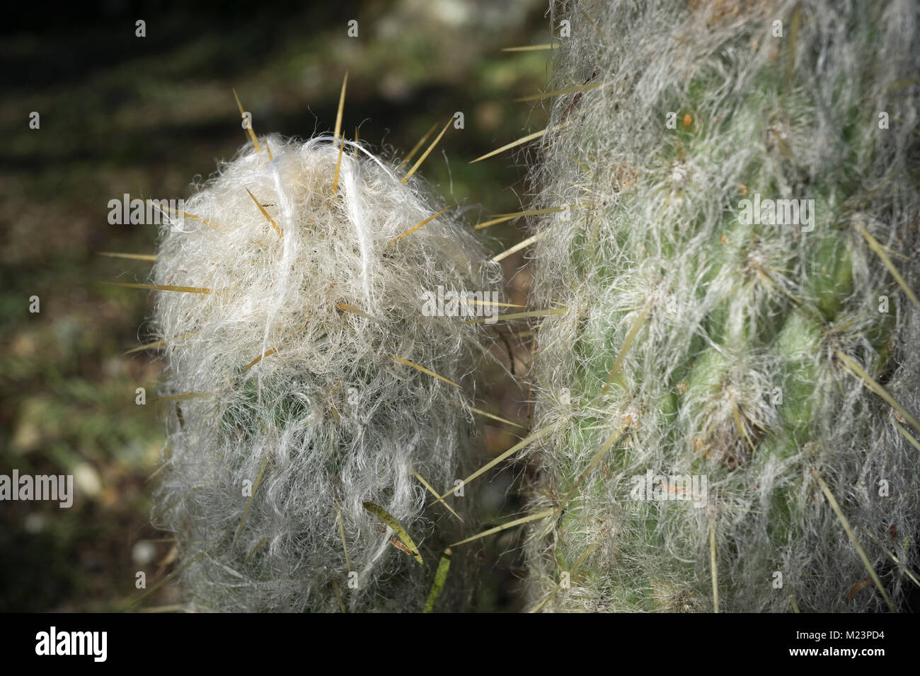 From a weekend visit to the botanical garden, macro shots this hairy cactus that looks like a little creature. Espostoa - Stock Image