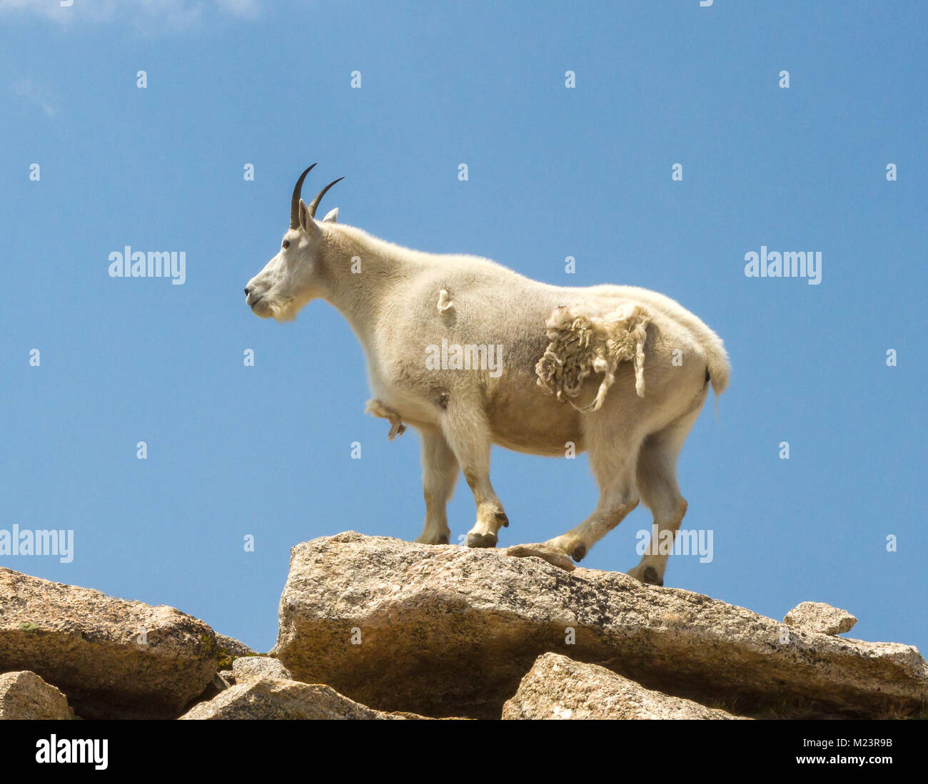 Mountain Goats (Oreamnos americanus) inhabit some of the most inhospitable regions in North America. They live in - Stock Image