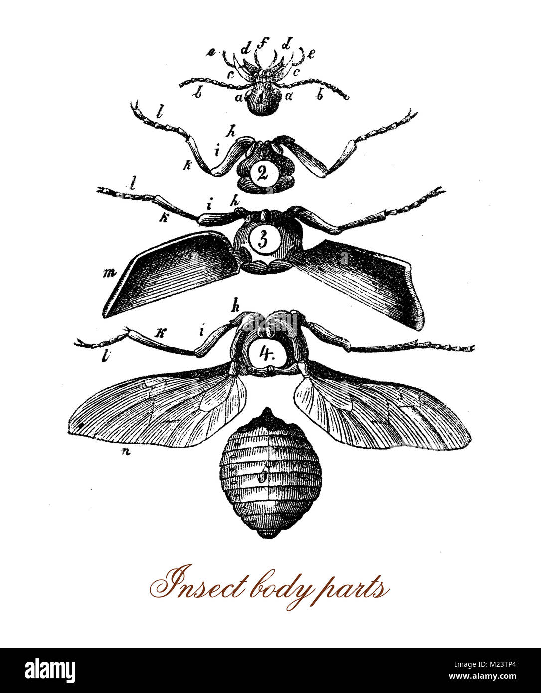 Insect body parts, vintage illustration - Stock Image