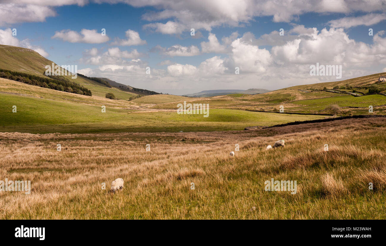 Sheep graze on rough pasture in a valley at the head of Wensleydale and Garsdale in England's Yorkshire Dales - Stock Image