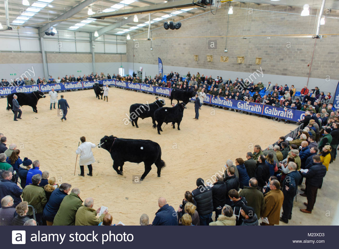 Stirling, UK. 3th February, 2018. During the pre-sale shows in the February Bull Sales at Stirling Agricultural - Stock Image