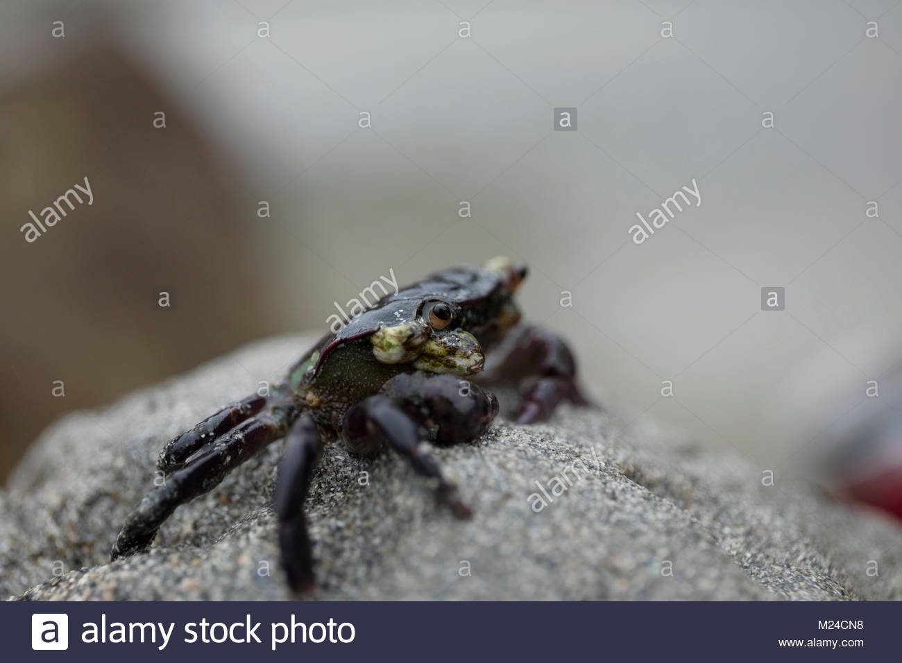 Extreme close up black sand crab - Stock Image