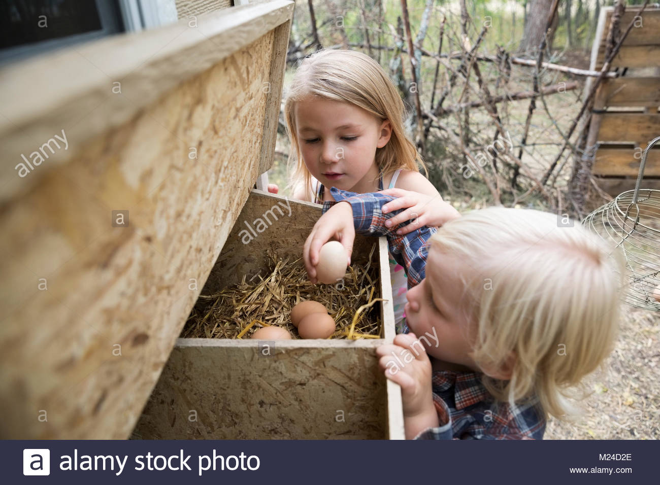 Curious, blonde brother and sister gathering fresh eggs at coup - Stock Image