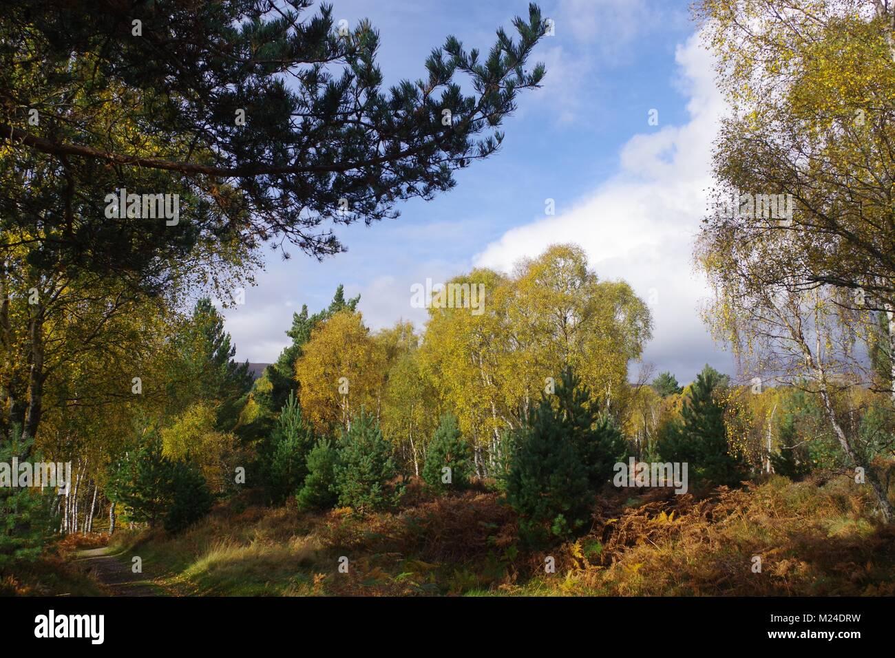 Golden Autumn Leafs of a Mixed Birch Forest. Muir of Dinnet, Cairngorms, Scotland, UK. October, 2017. - Stock Image