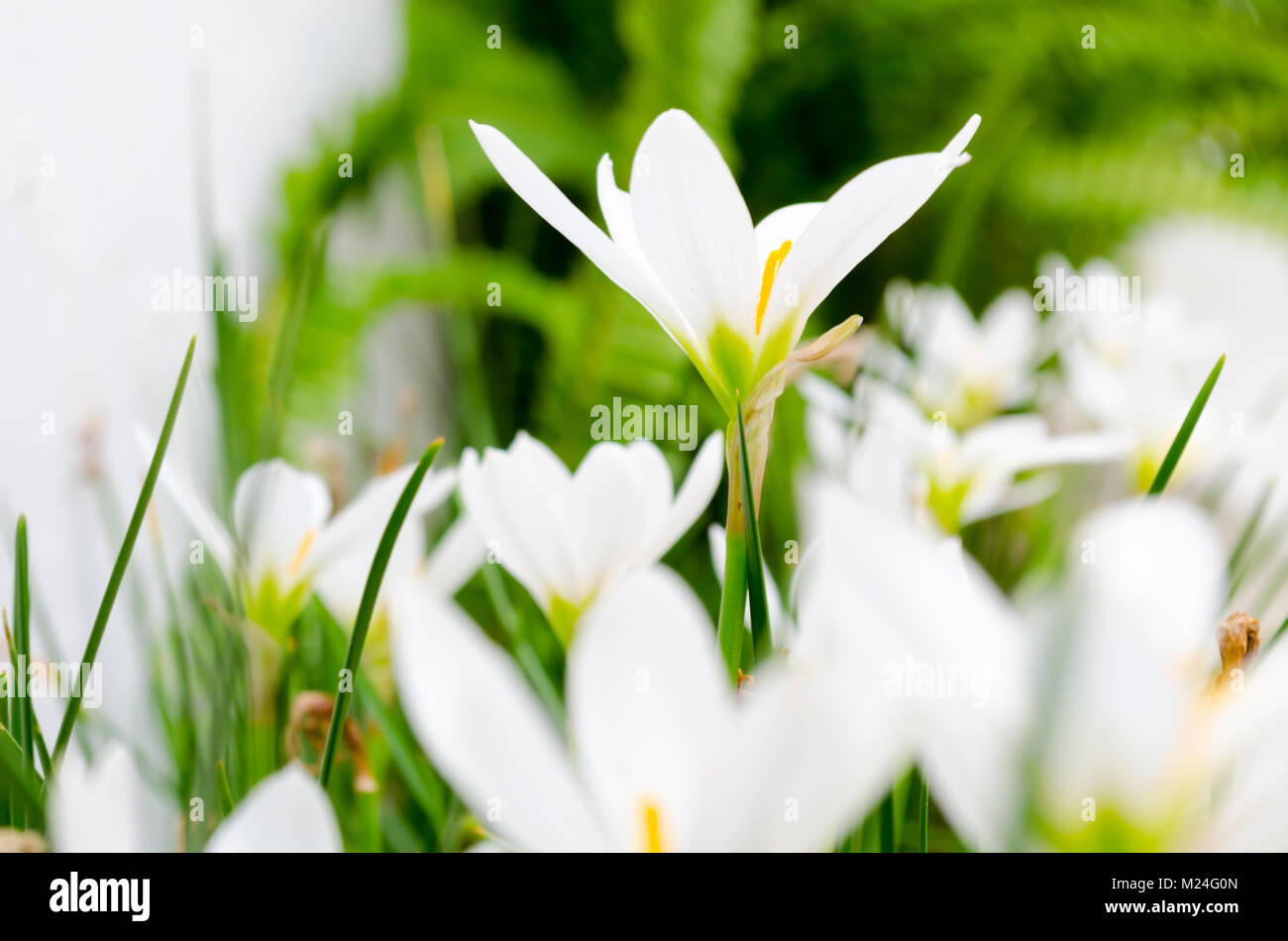 Small white daisy flowers stock photos small white daisy flowers small white daisy flowers grouped with highlighted petals with side view copy space izmirmasajfo