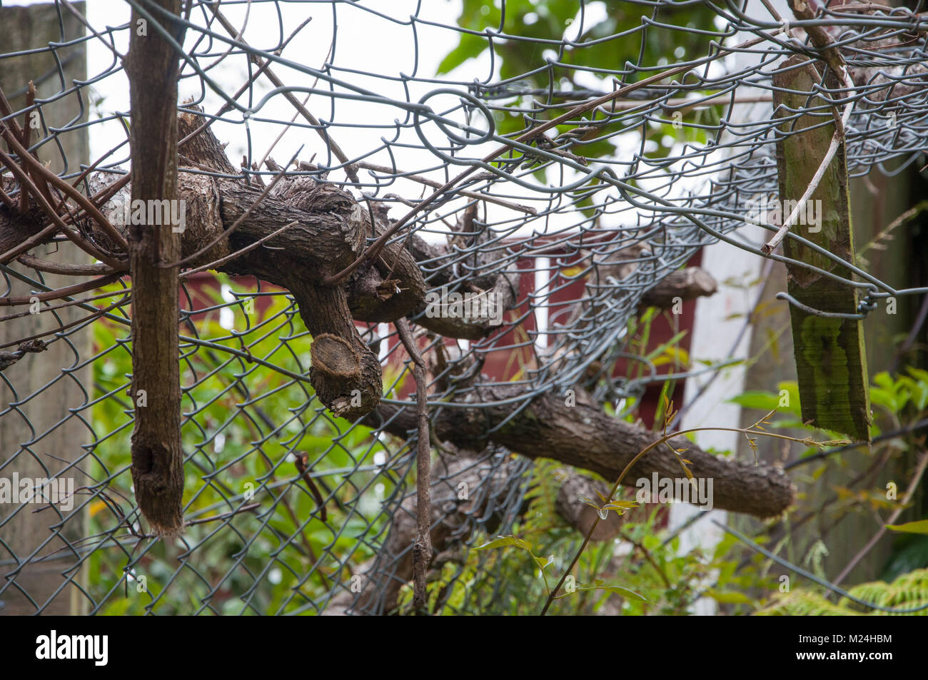Tree Branches Tangled In A Wire Fence - Stock Image