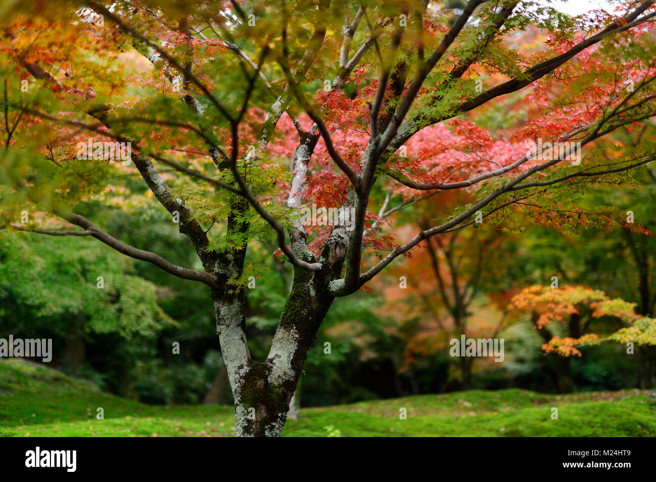 Japanese Maple Tree Stock Photos Japanese Maple Tree Stock Images