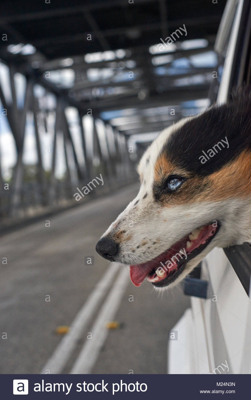 A happy blue-eyed, tri-color Border Collie, with it's head out the car-window - eagerly facing the wind - as - Stock Image