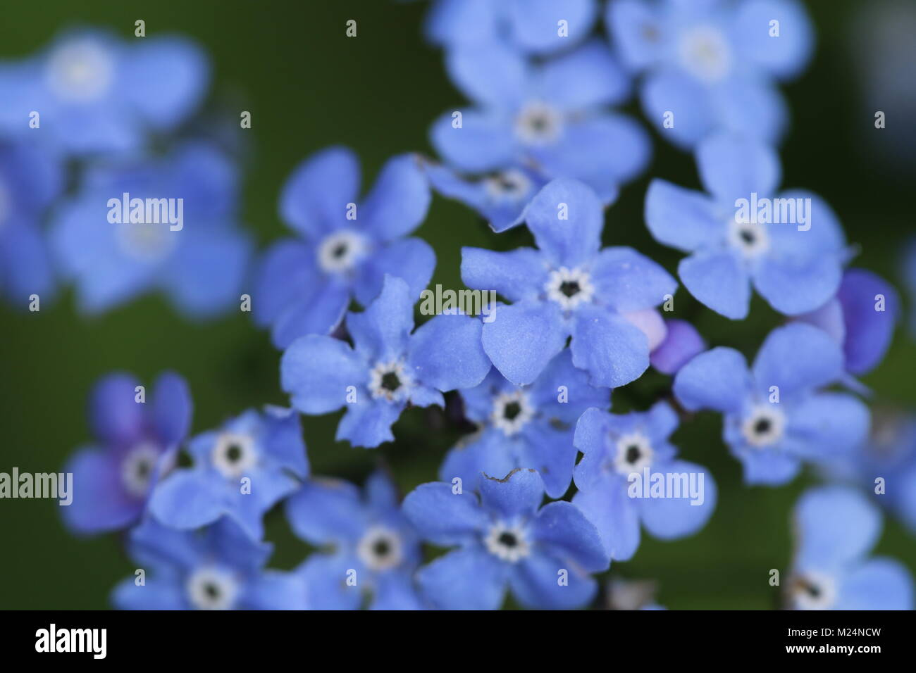 Forget Me Not Flowers Tiny Blue Flowers Stock Photo 173437625 Alamy