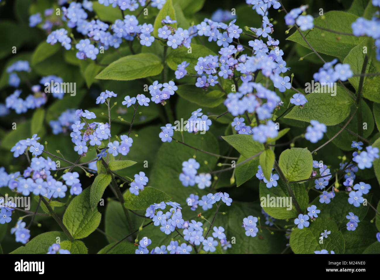 Forget Me Not Flowers Tiny Blue Flowers Stock Photo 173437656 Alamy