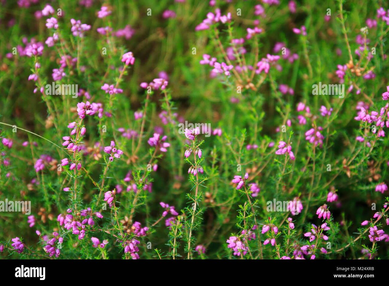 Irische Heide mit kleinen pink violett farbenden Glöckchen Blüten Stock Photo