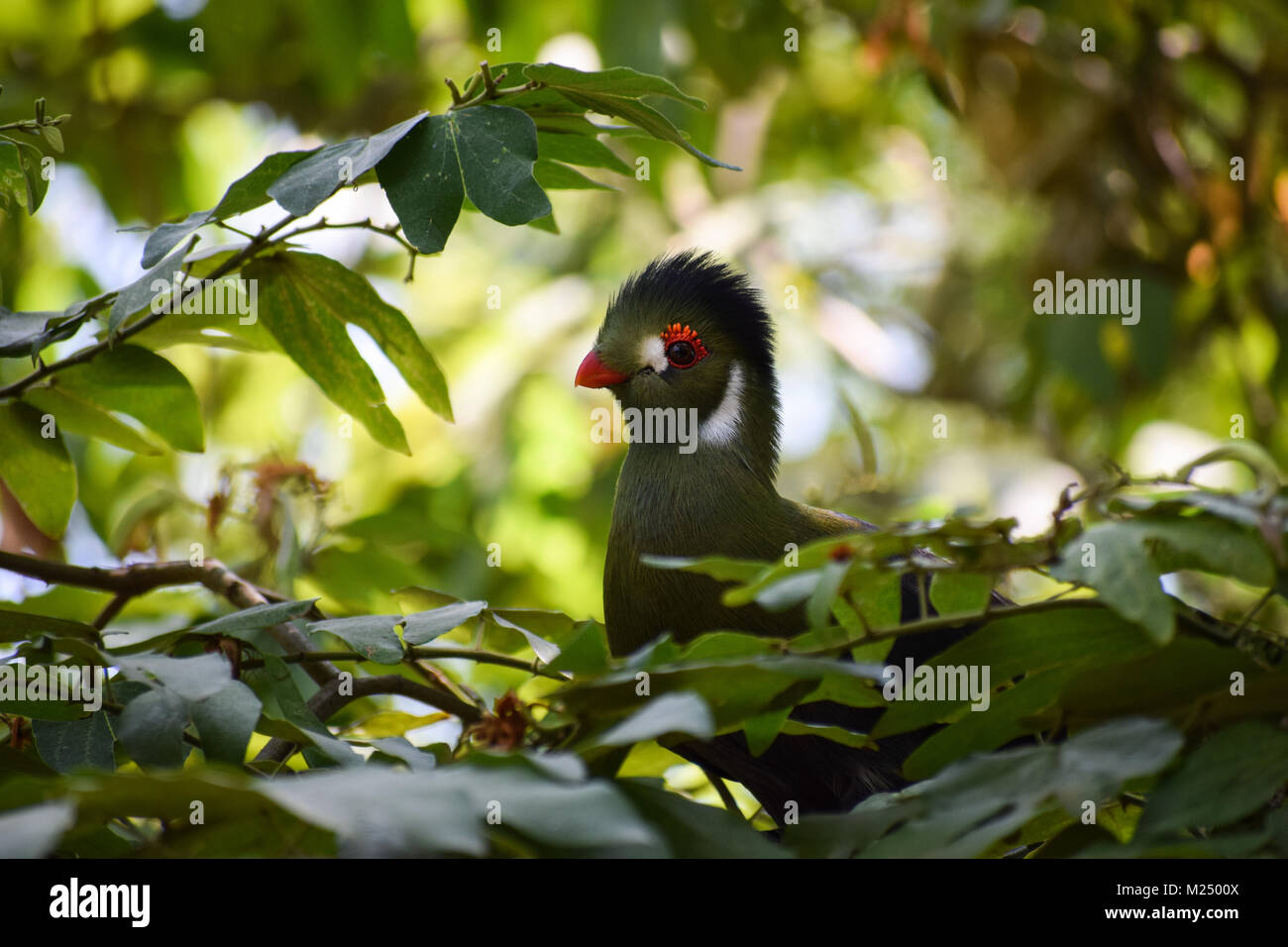 white-cheeked turaco (Tauraco leucotis) with a funny look - Stock Image