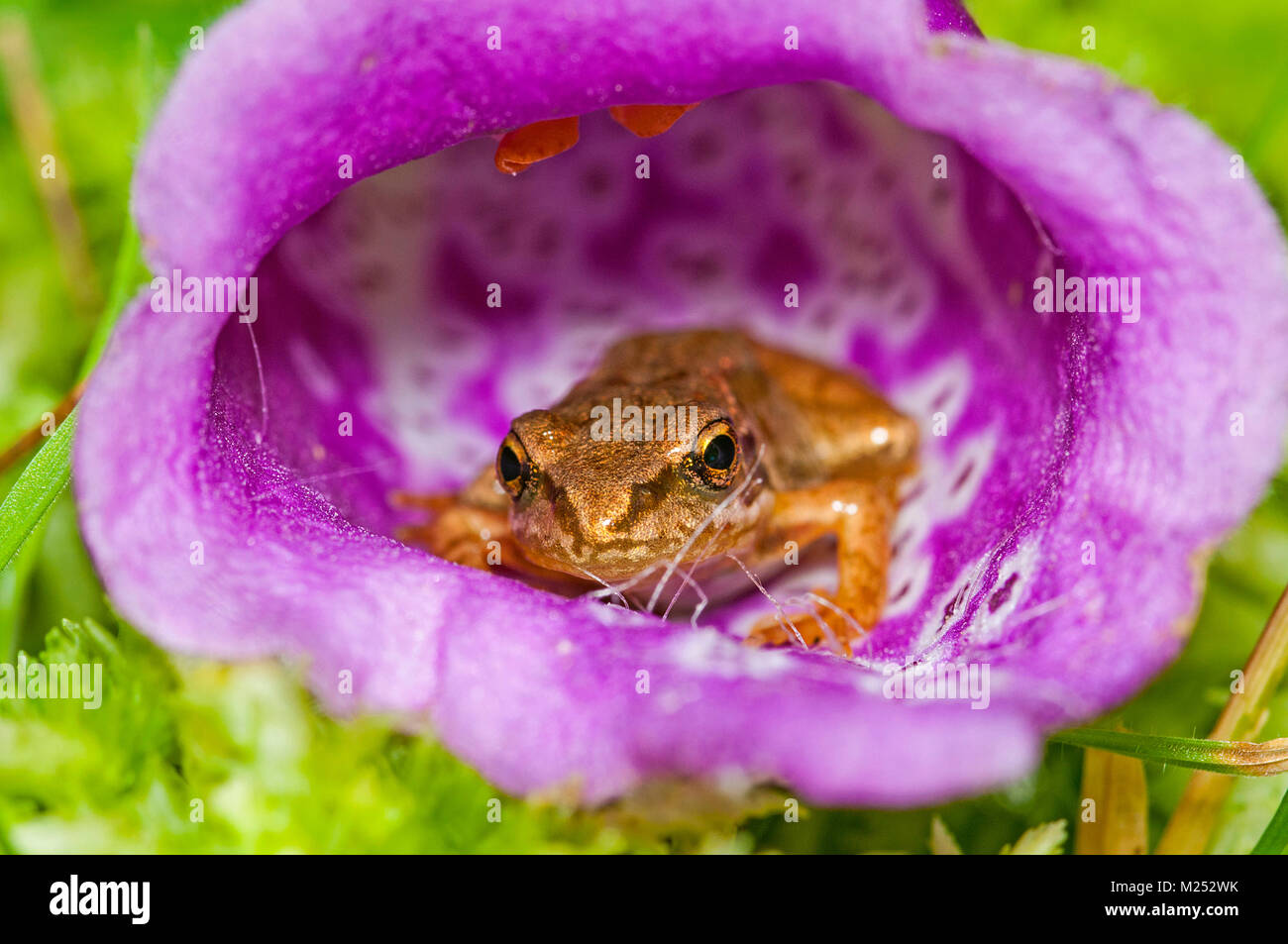 Common frog hiding inside a Foxglove flower in the New Forest National Park, Hampshire, UK - Stock Image