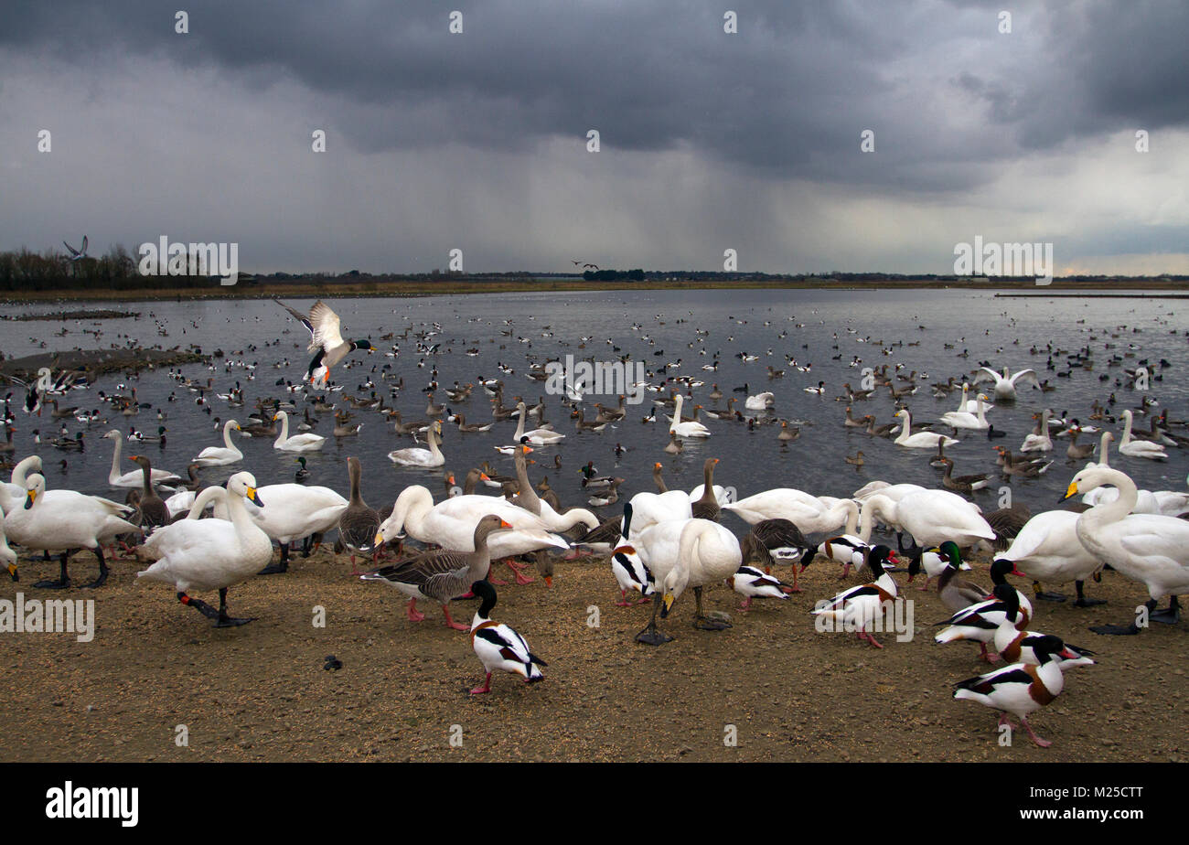 Burscough, Lancashire.  05/01/2018. UK Weather.  Heavy winter showers with light snow as hungry birds gather at - Stock Image