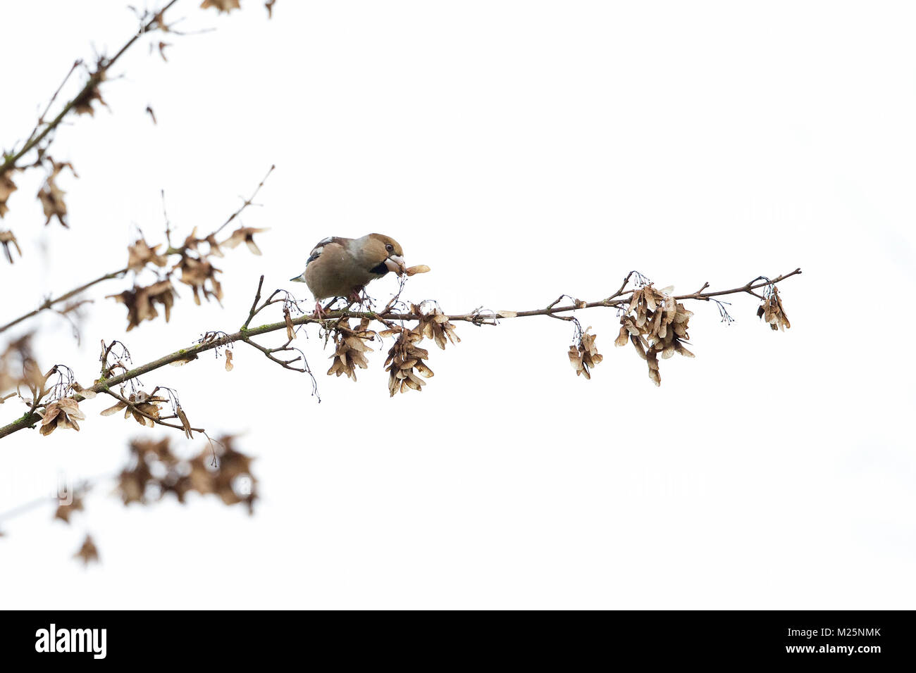 Hawfinch (Coccothraustes coccothraustes) - Stock Image