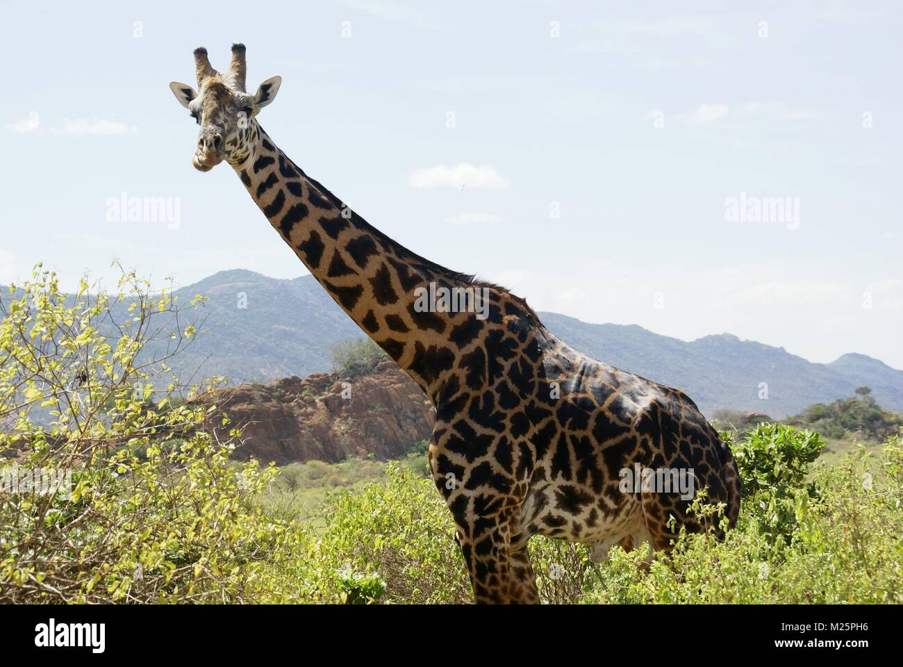 giraffe in kenya safari trip - Stock Image
