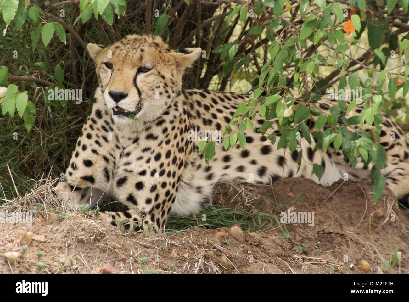 cheetah safari kenya south africa Stock Photo