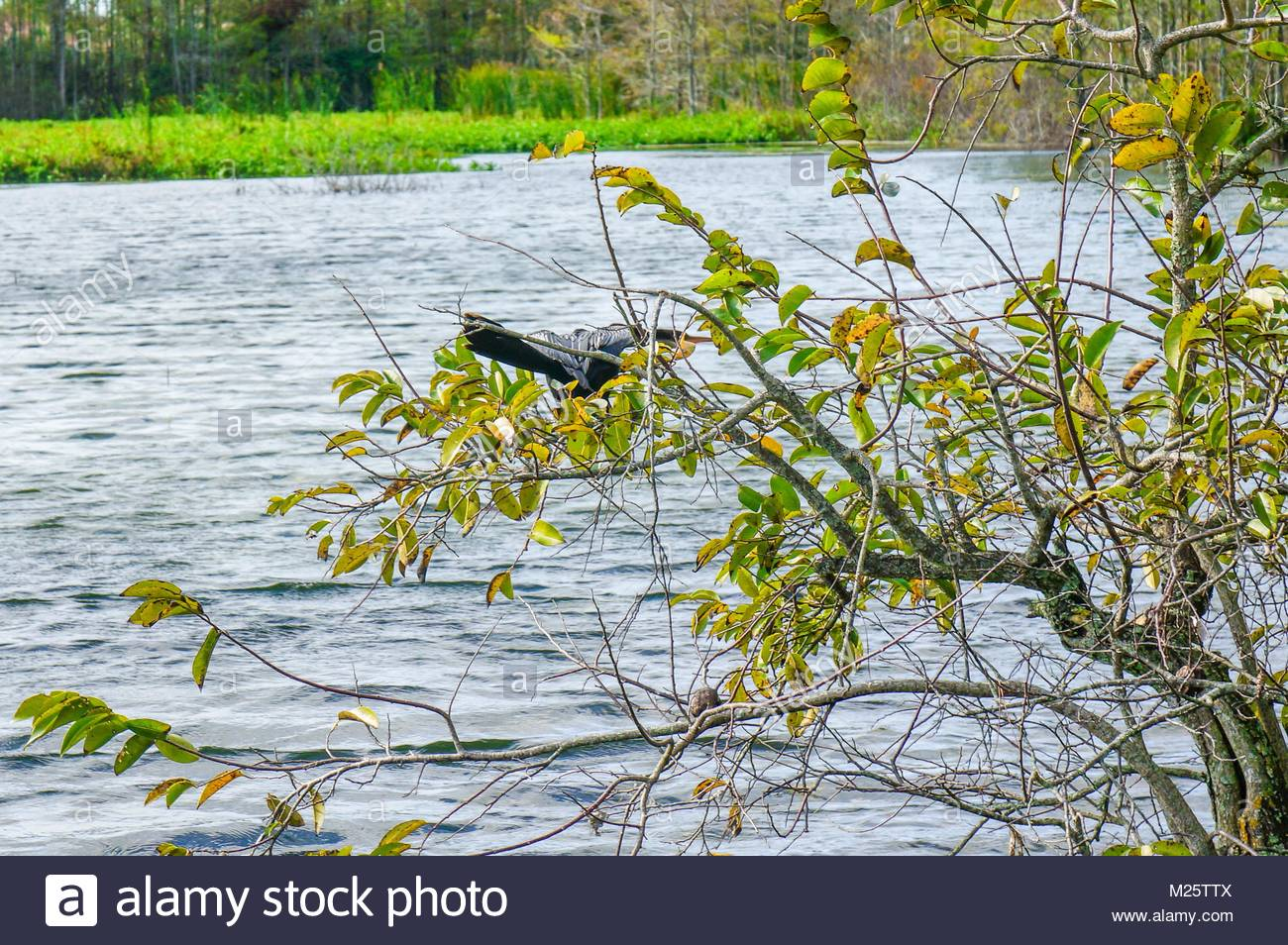 anhinga perched in a tree in a swamp landscape - Stock Image