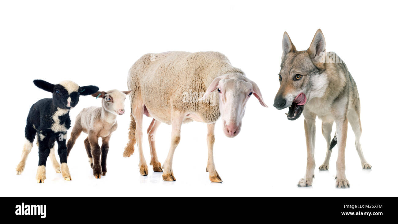 adult ewe, lambs and wolf in front of white background - Stock Image