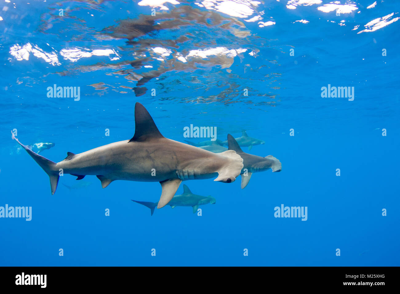 Schools of hammerhead sharks form offshore from Kona, Hawaii every year. - Stock Image