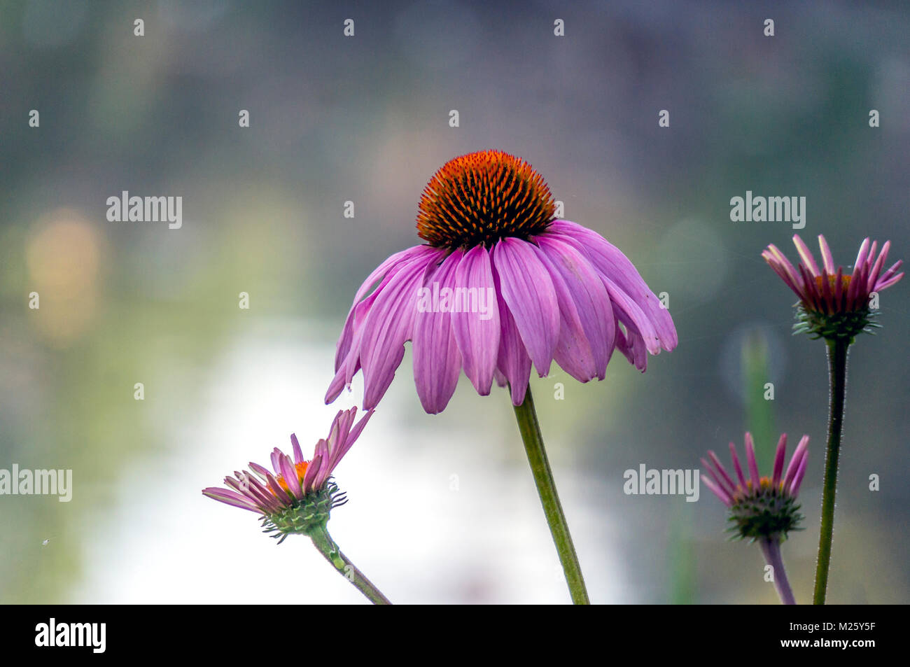 Echinacea purpurea purple cone flower in summer - Stock Image