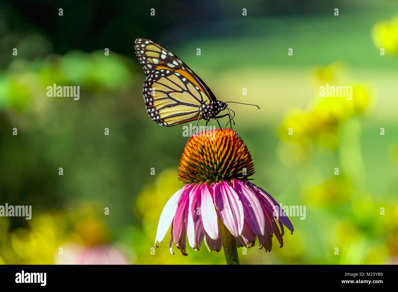 monarch butterfly Danaus plexippus is a milkweed butterfly (subfamily Danainae) in the family Nymphalidae - Stock Image