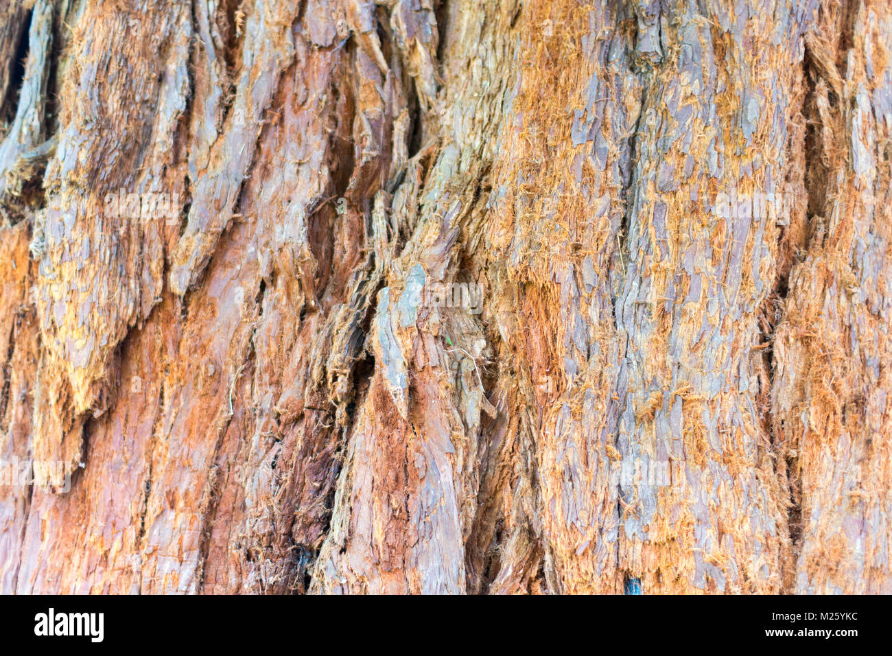 Rough pine tree bark in Sussex, England - Stock Image