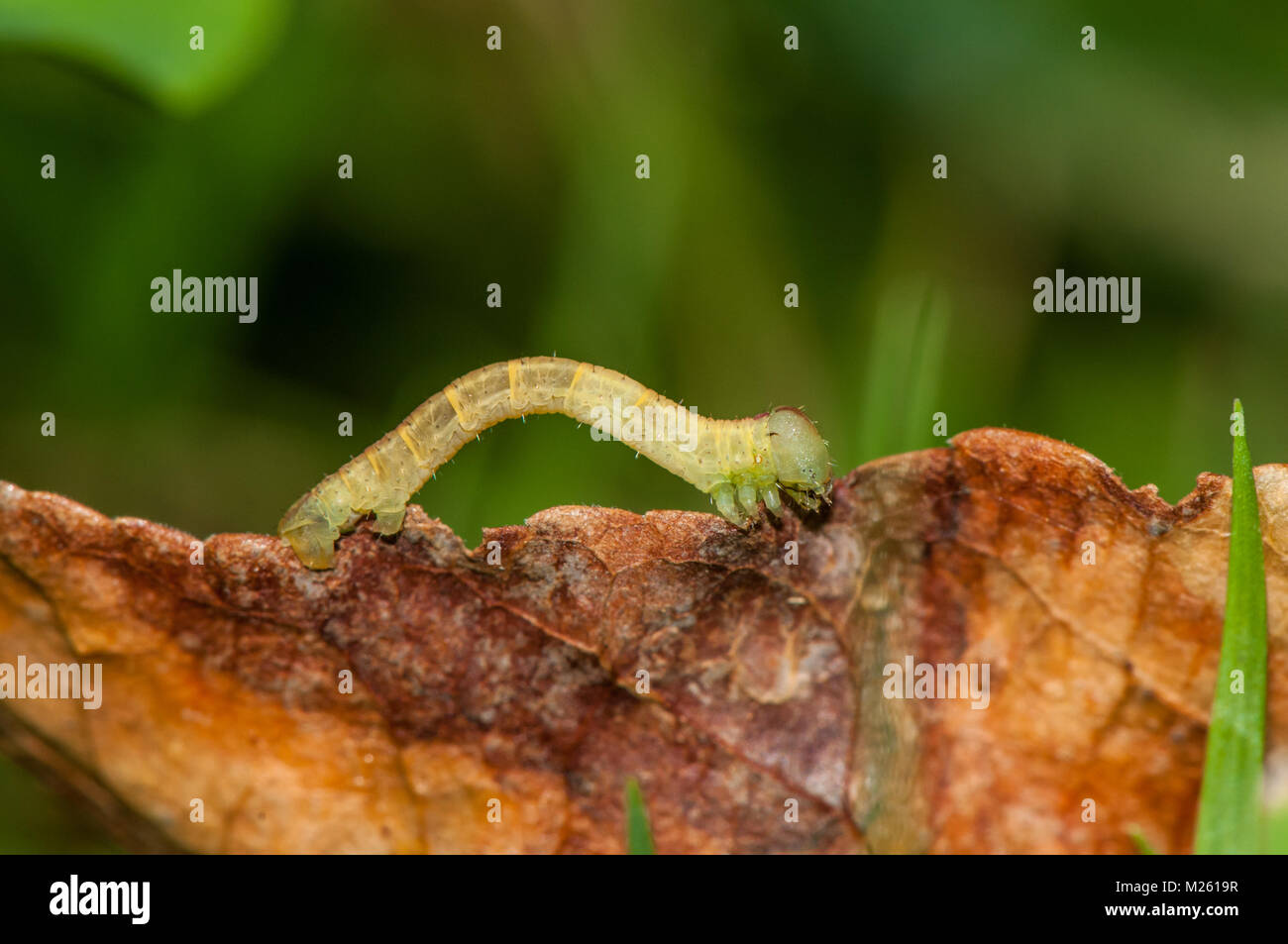 caterpillar on top of a leaf, Banyoles, Catalonia, Spain - Stock Image