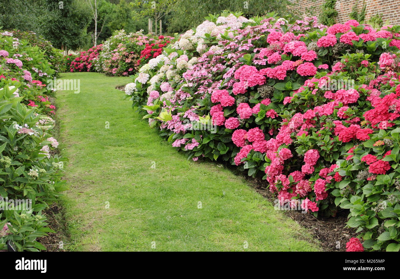 A part of the national hydrangea collection in the walled garden at Darley Park, Derby, East Midlands, England, - Stock Image