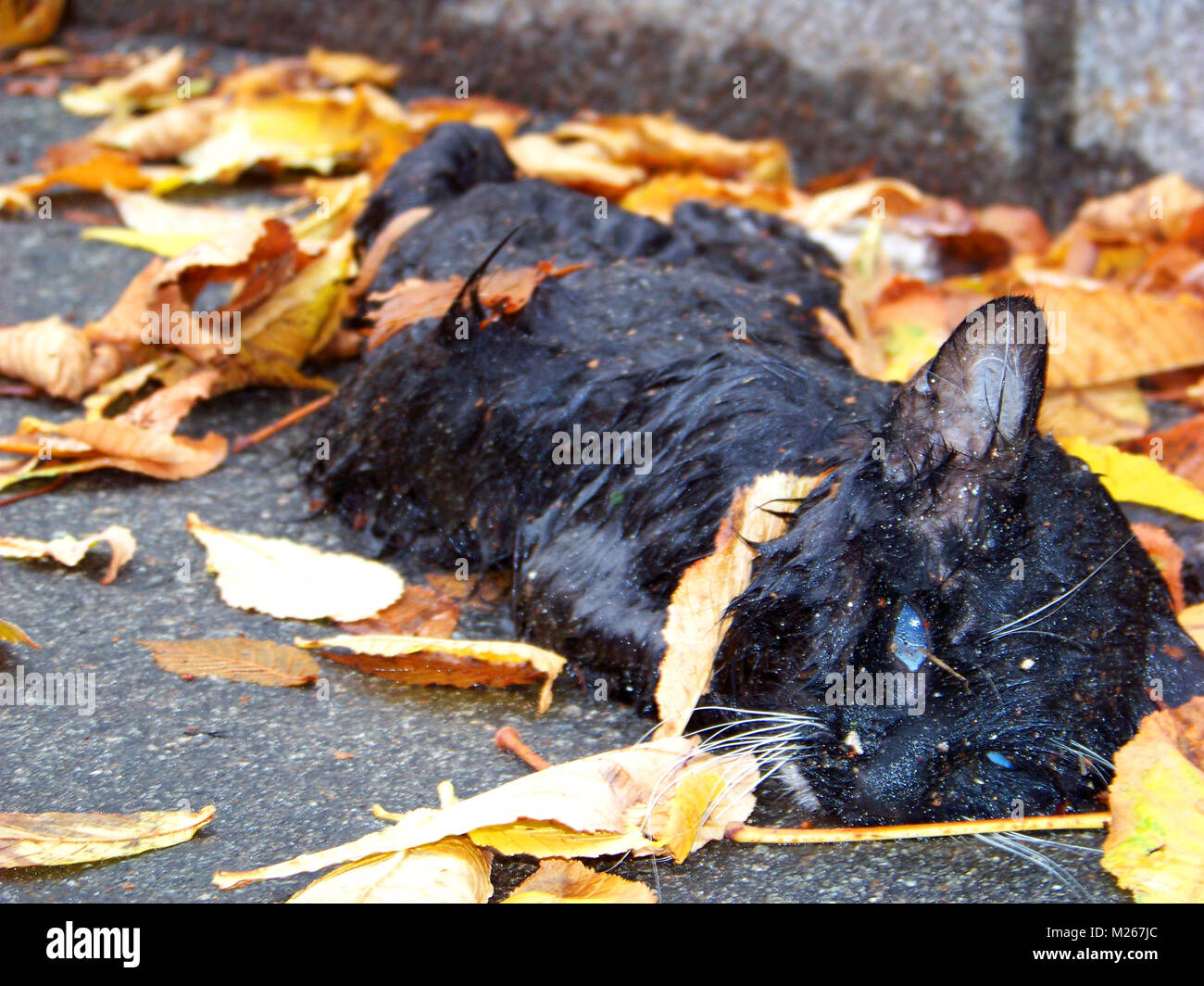 Frozen black cat's corpse in the fallen leaves close-up - Stock Image