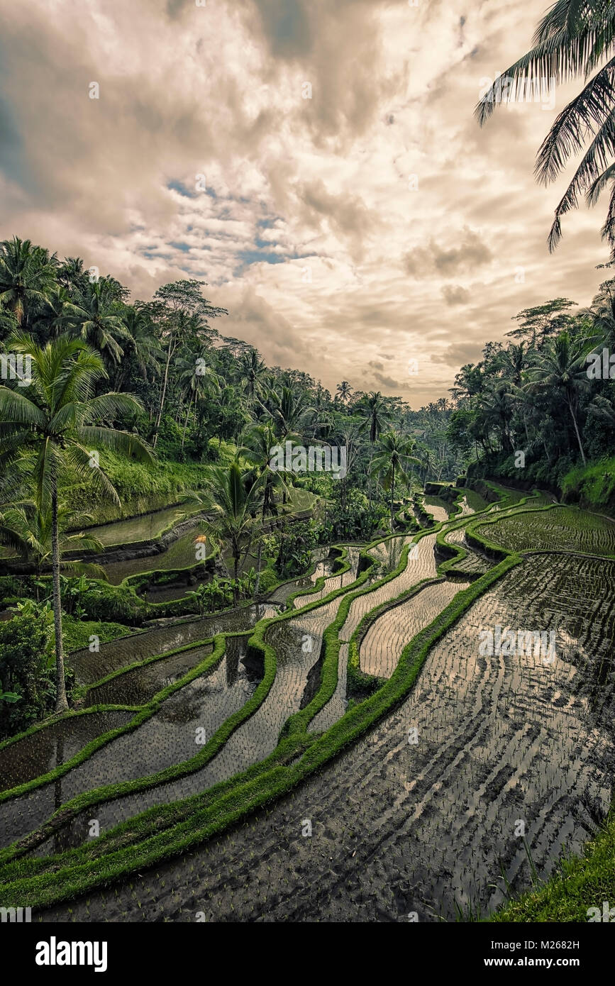 Tegallalang rice terrace in Bali, Indonesia - Stock Image