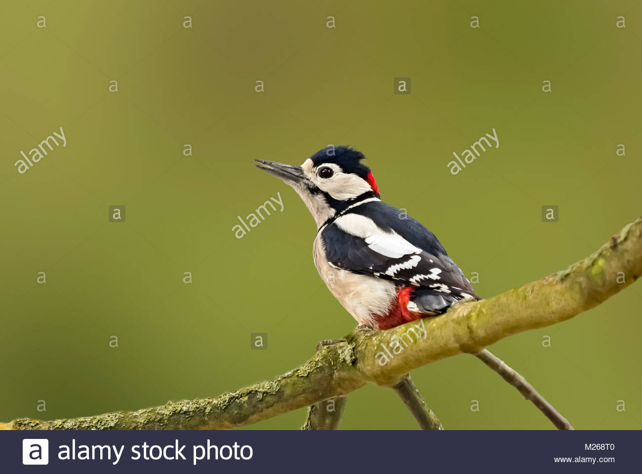 Male Great Spotted Woodpecker (Dendrocopos major) perched on a tree branch in Autumn in Arundel, West Sussex, England, - Stock Image
