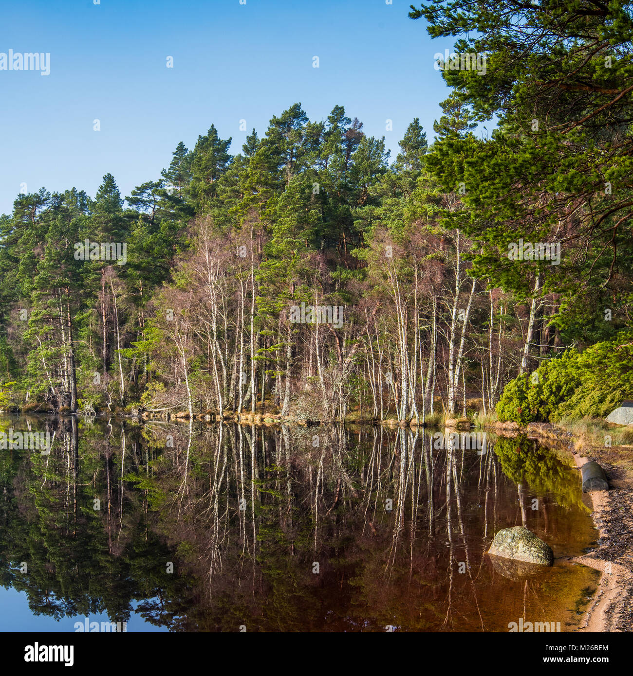 Loch Garten in the Strathspey area of the Cairngorms National Park, in Scotland. It is surrounded by the tall Caledonian - Stock Image