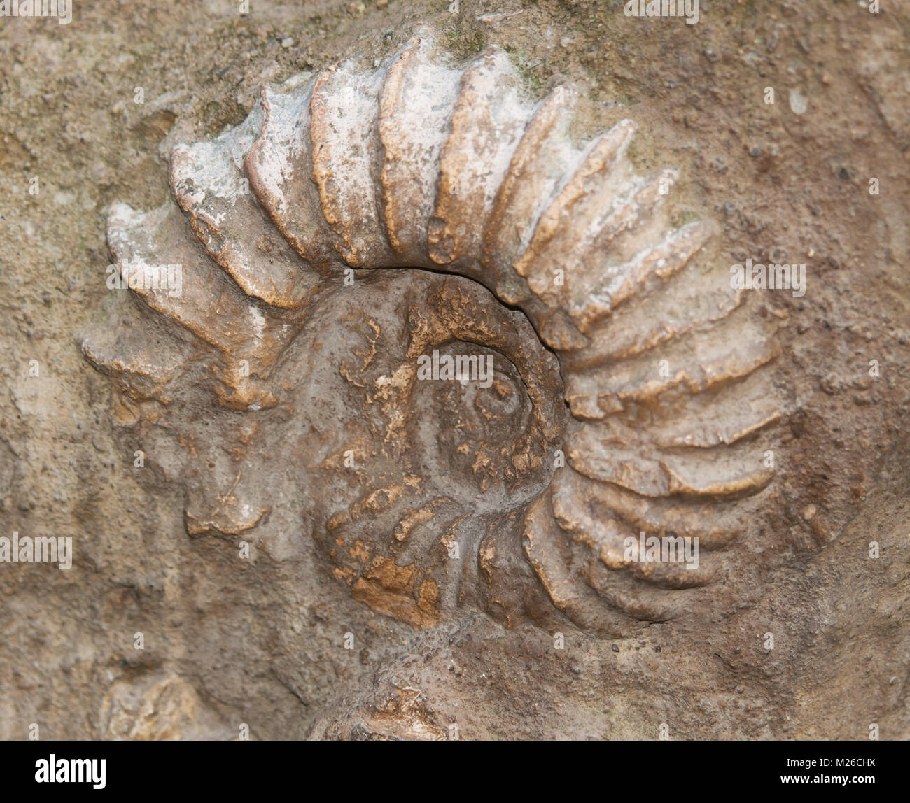 Scaphites fossil - genus of extinct cephalopod - Stock Image