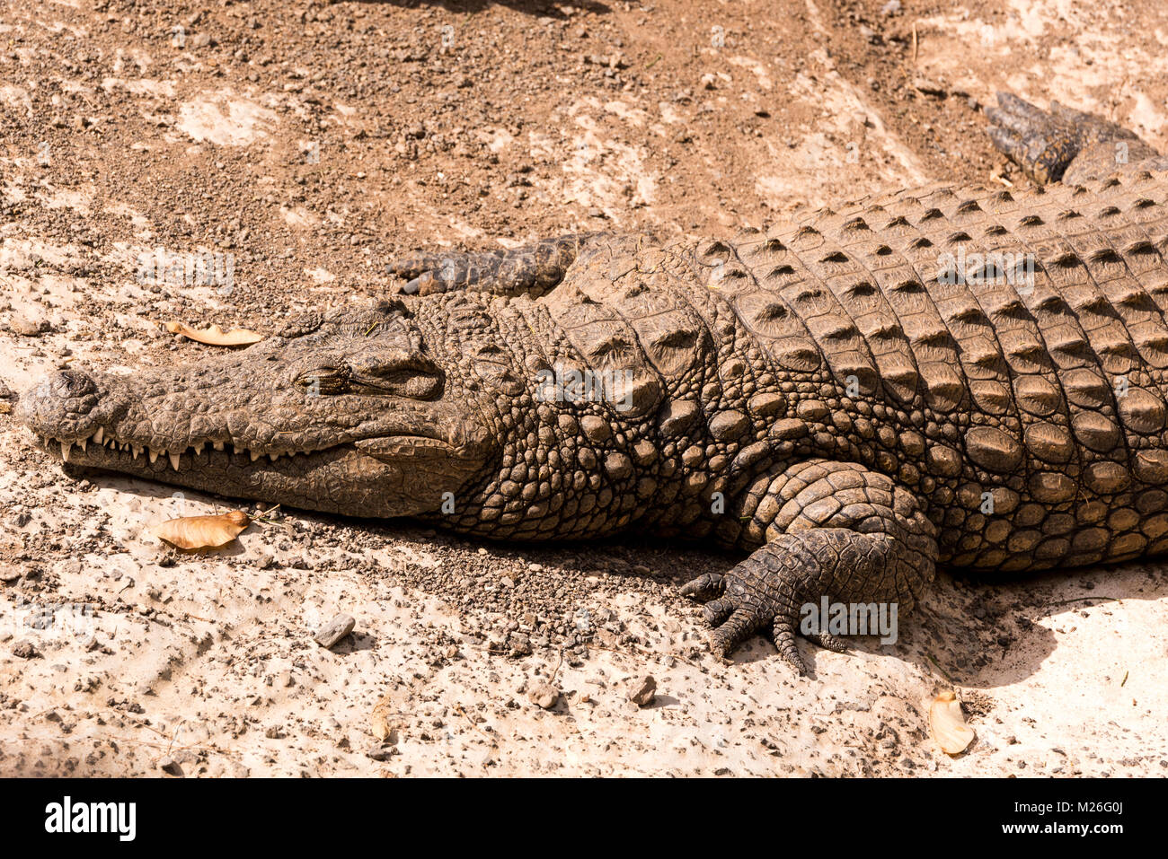 View on a lazy crocodile or alligator - Stock Image