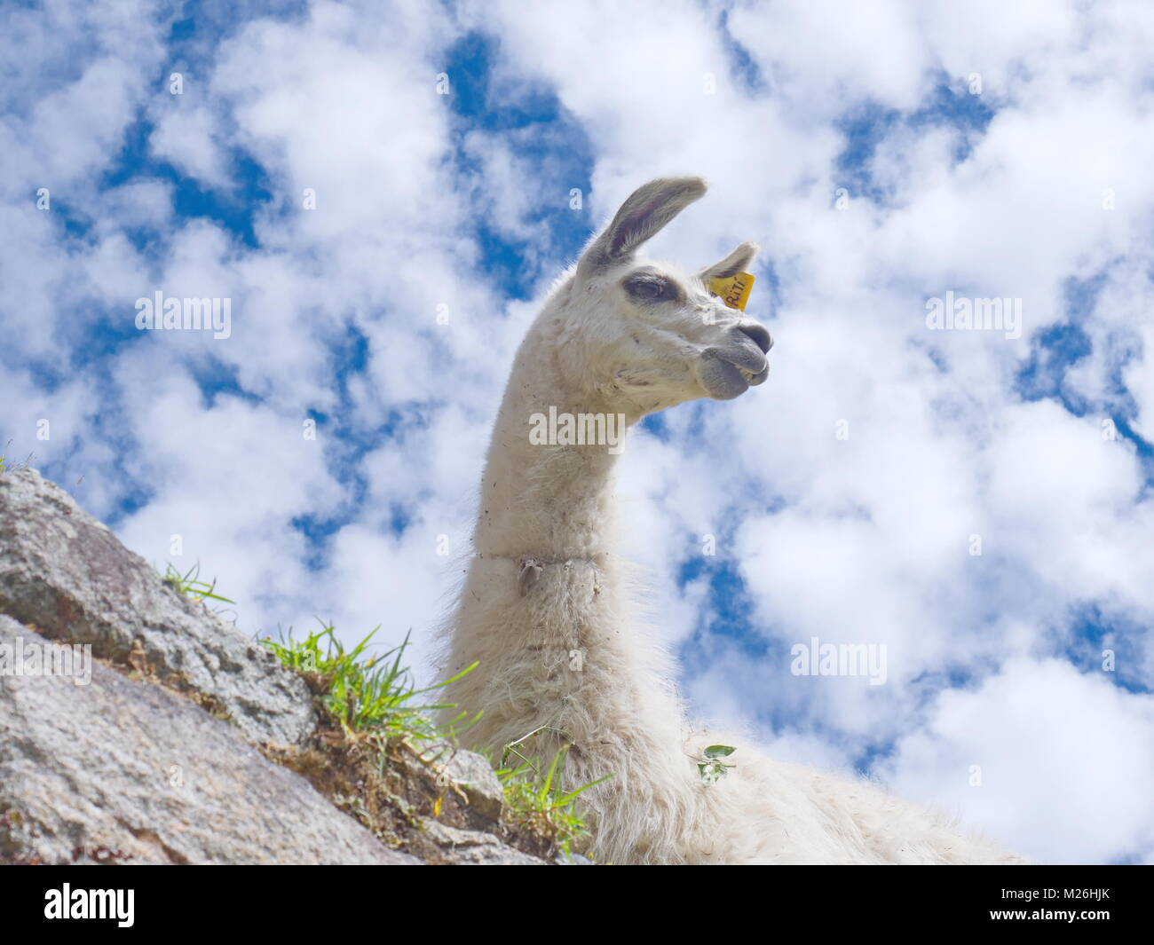 Looking up at a llama against a cloud spotted blue sky (lama glama) - Stock Image