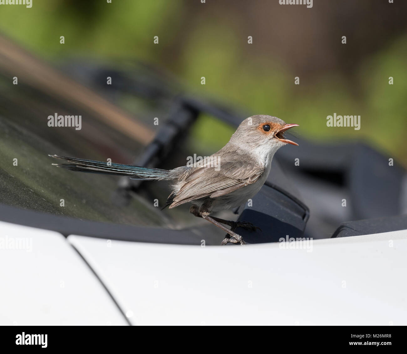 A female Splendid Fairy-wren (Malurus splendens) sings out after attacking its reflection in a car windscreen - - Stock Image