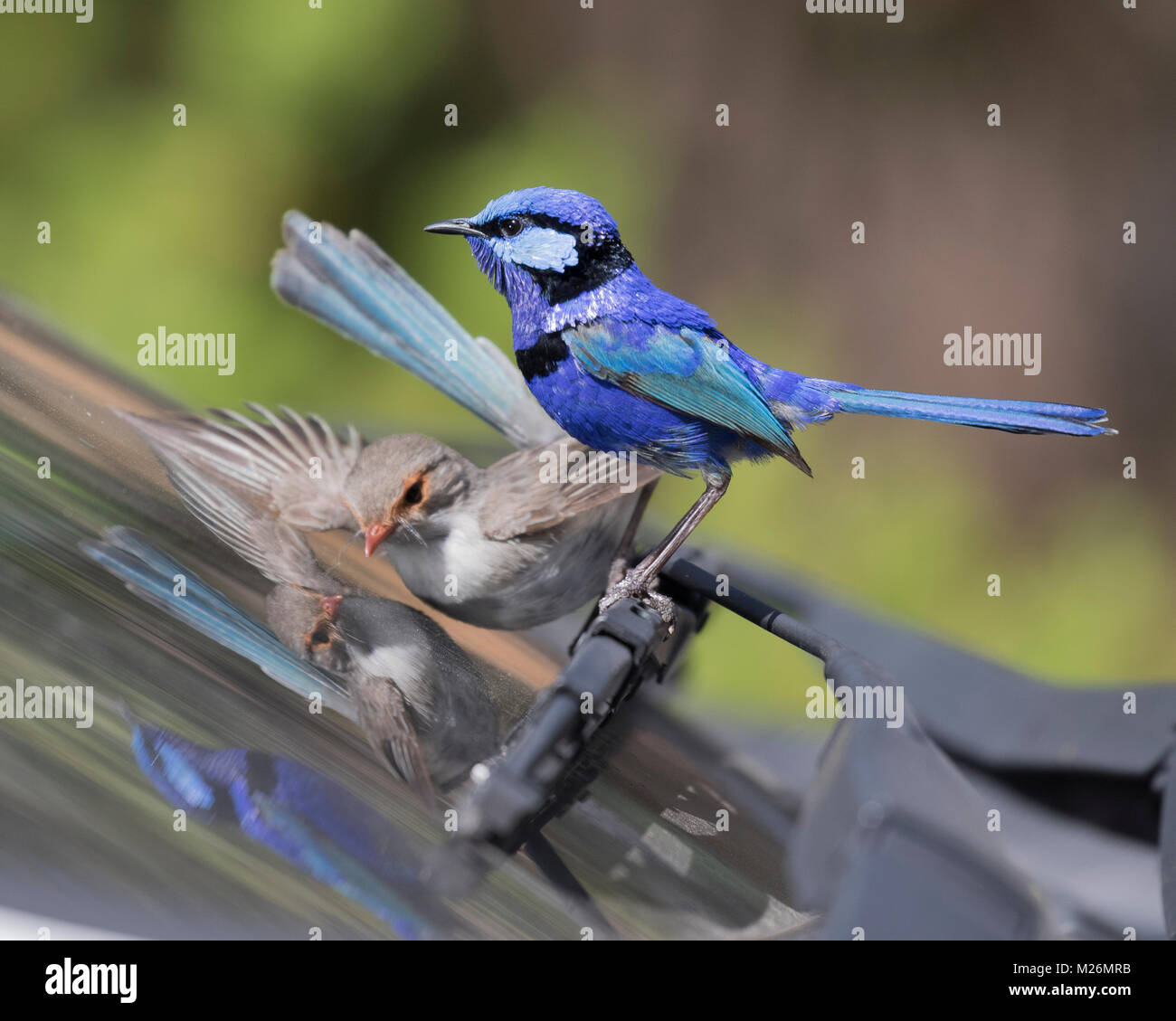 A female Splendid Fairy-wren (Malurus splendens) attacks its reflection in a car windscreen whilst a male watches - Stock Image